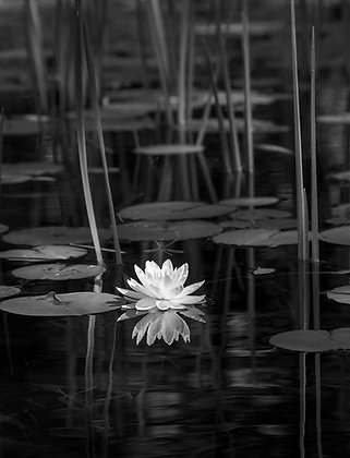 Waterlily and Reeds #1