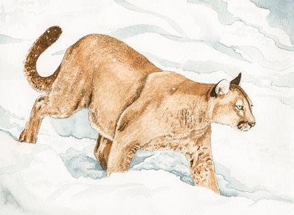 Mountain Lion, print