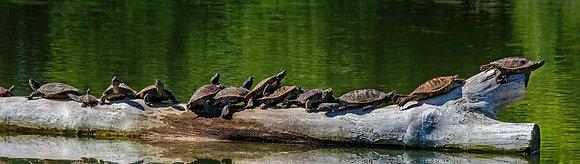 Turtles on a Log Panorama