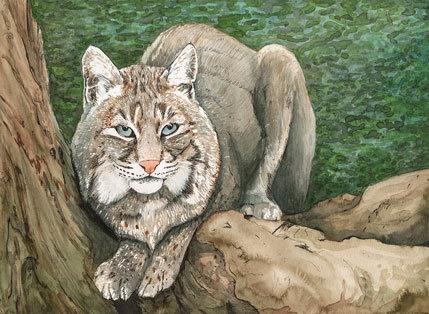 Bobcat, print
