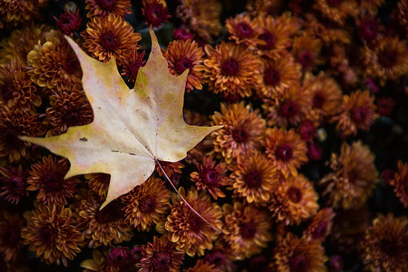 Maple Leaf on Chrysanthemum, Chautauqua County, NY