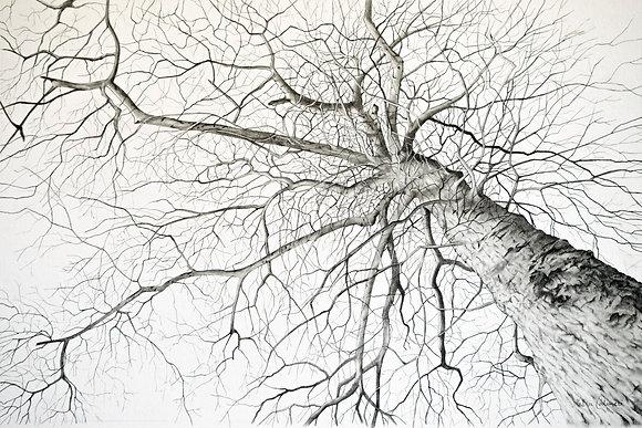 Original Drawing: Third Street Oak Tree