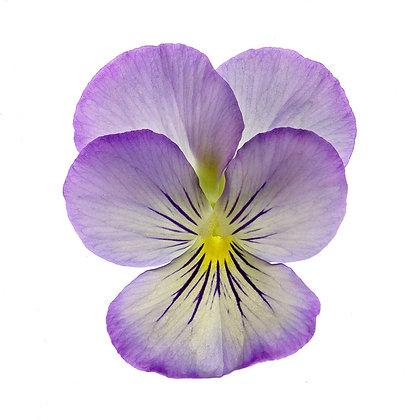 Lavender Viola