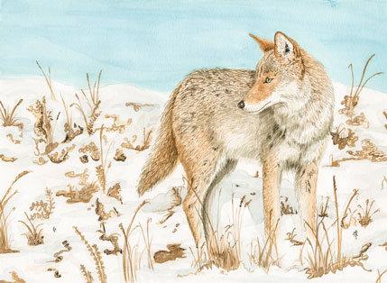 Coyote, print