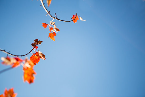 Red Maple Against Blue Sky, Chautauqua County, NY