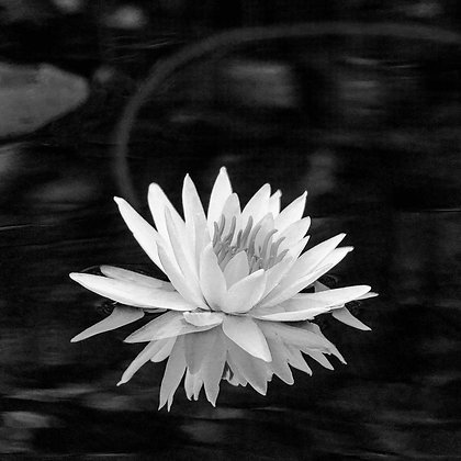 Waterlily #1