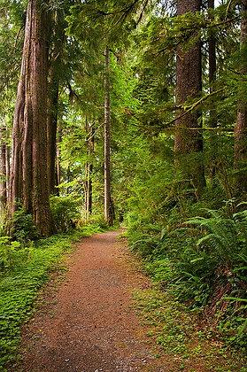 Path Through the Cedars