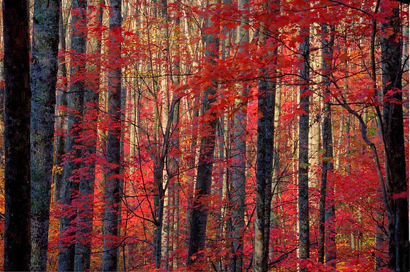 Red Leaves Among the Trees