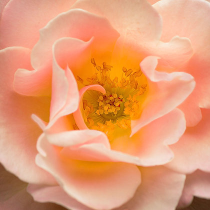 Apricot Old English Rose