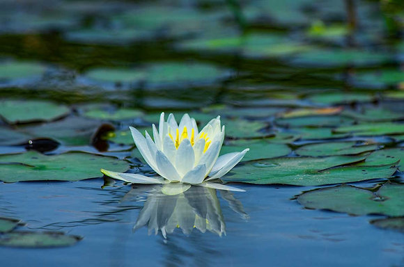 Waterlily with Reflection