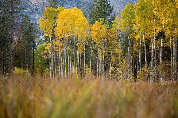 Aspen Grove, Sierra Nevada, CA