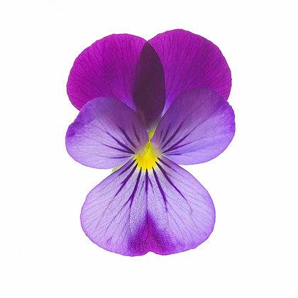 Violet and Lavender Viola