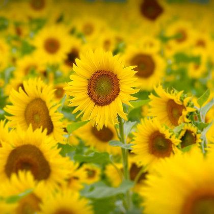Sunflower Outstanding in Field