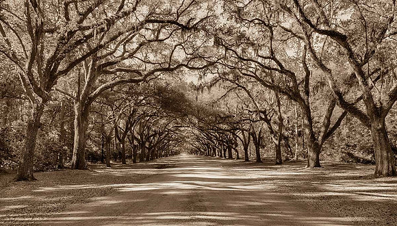 Wormsloe Avenue of Oaks #1