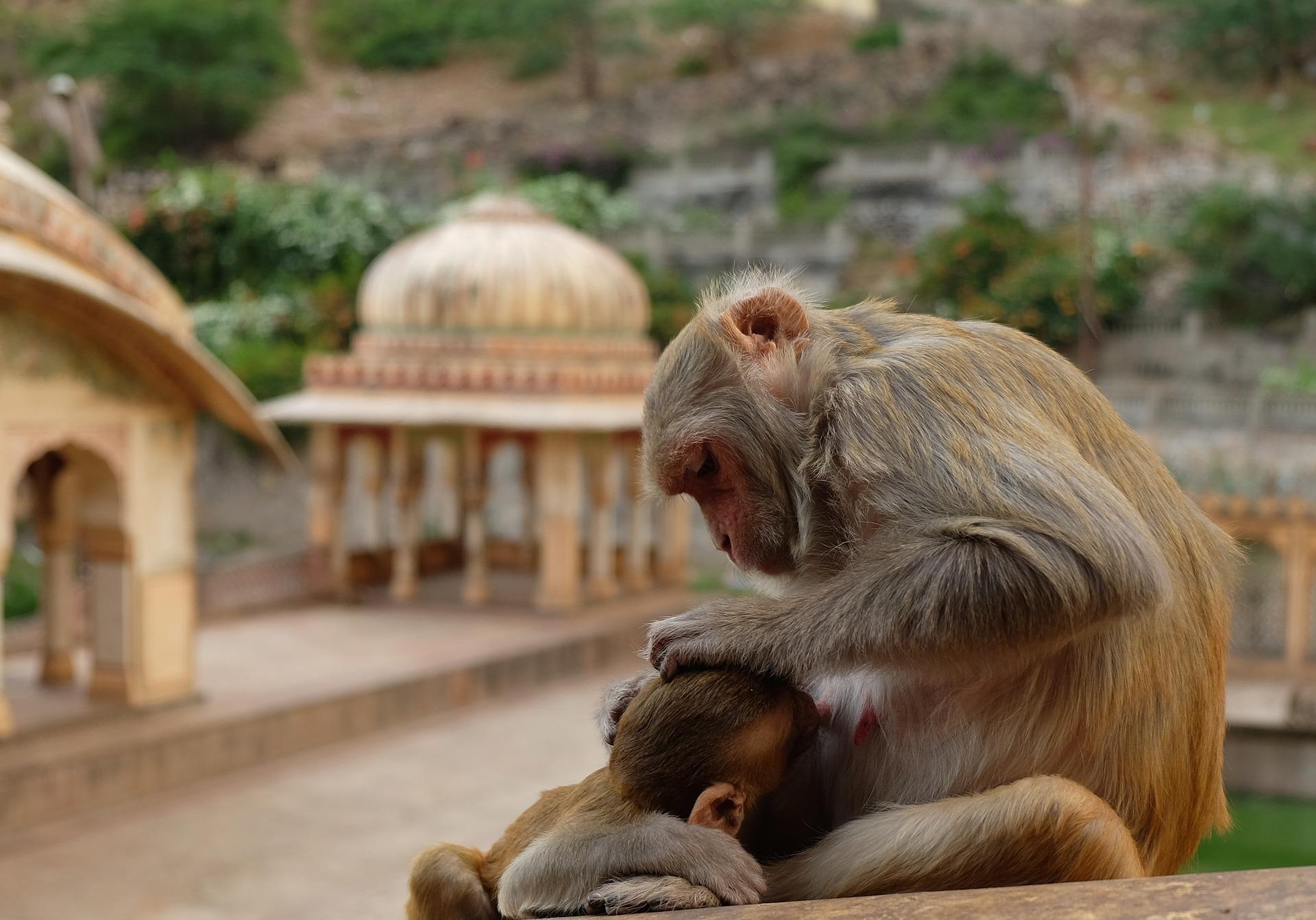 Monkey Temple à Jaipur