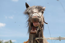 Tête_de_cheval_fun.jpg