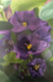 Purple  african violets rochy Miller(1).jpg