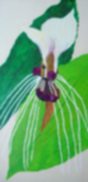 Bat Plant.jpg Painting of bat plant flower,purple with white fronds