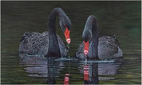 black-Swapnil Nevgi Swans-2000px.jpg