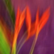 heliconia-bruce-peebles-photographer_edi