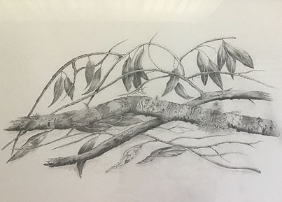 Gay McKay  Eucalyptus - A twig or two - botanical drawinf in greys