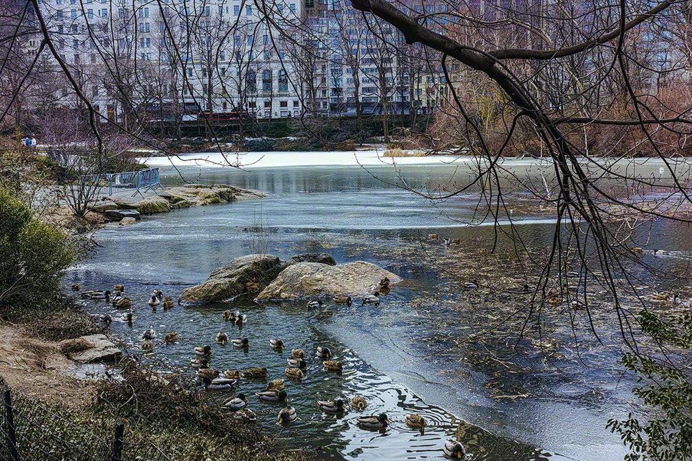 Ducks in CP in the Winter