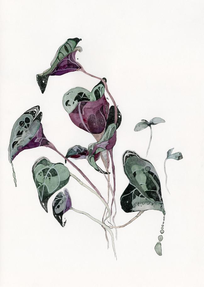 Cyclamen persicum (winter 2021)