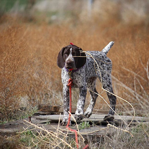 Baby GSP on point