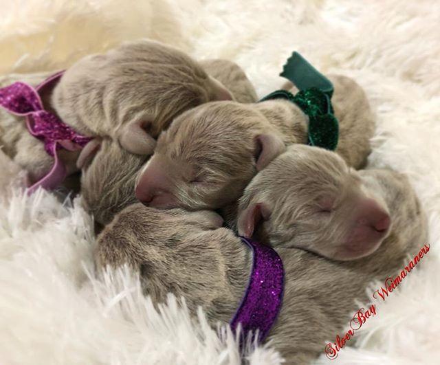 #silverbayweimaraners #weimaraner #weims #puppylove #akc #weim #weimsofinstagram #birddog #sportingd