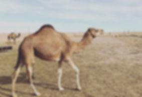 milking camel on a farm