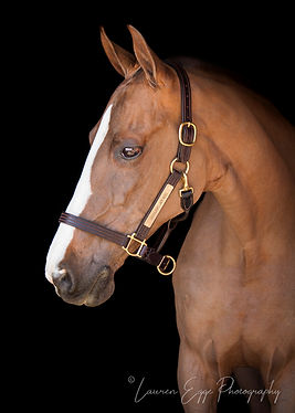 American Saddlebred, Bennett Farms, Horse, Los Angeles Equestrian Center, Lauren Egge, Undulata's Lady Noel