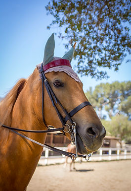 Saddlebred, horse, for sale, los angeles, Bennett Farms, gold, mare, horse breed, sale, western, saddle seat,