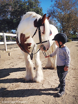 gypsy cobb, horse, for sale, los angeles, Bennett Farms, gelding, horse breed, sale, western, saddle seat, pony, lessons, horseback, equestrian, laec