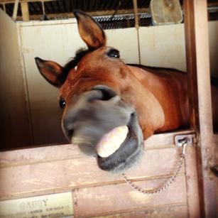 jim bennett farms, los angeles equestrian center, laec, horse boarding, stall, stables, barn, american morgan horse, show, horse, smile, goofy horse, funny horse, burbank, lessons, horse riding, horseback