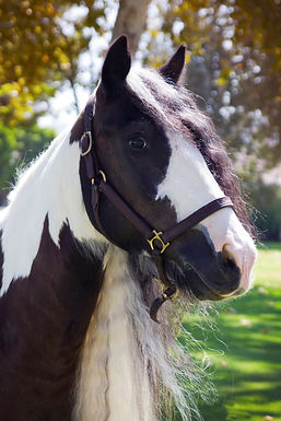 Gypsy Cobb, horse, for sale, los angeles, Bennett Farms, gelding, horse breed, sale, western, saddle seat, english, equestrian, rent, lease,