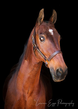 American Saddlebred, Bennett Farms, Horse, Los Angeles Equestrian Center, Lauren Egge, Undulata's Sophisticated Design