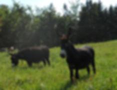 miniature donkeys,mini donkeys for sale,miniature donkeys for sale,baby donkeys for sale,foals for sale,mini donkeys,donkeys sale,Dennison,Minnesota,MN