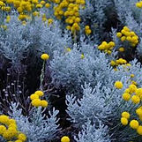 blue tansy body oil - ingredient 1.jfif
