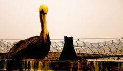 royal brown pelican 4