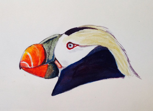 How gaudy can you be! Tufted Puffin
