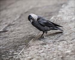 _6040550 fugl ravn eller noe