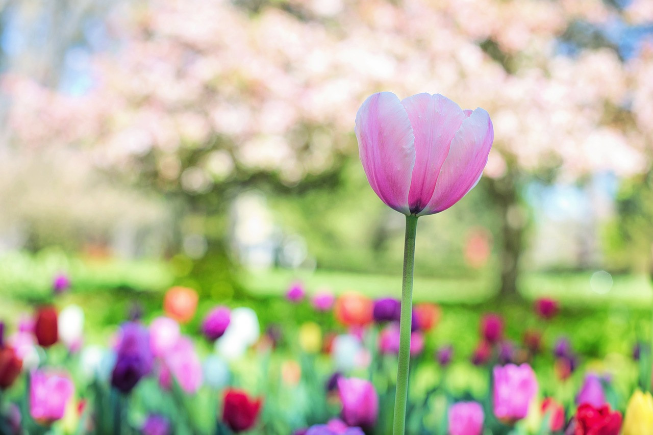 tulips-2289976_1280.jpg