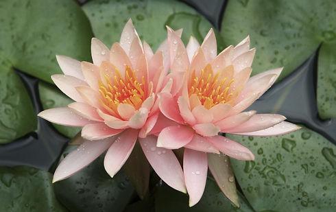 1200-6965-lotus-flower-photo2.jpg