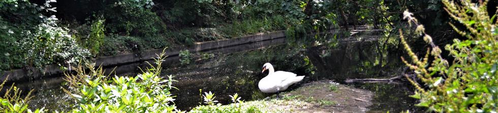 Swan River Brent.jpg