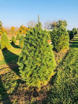 white pine 2.jpg
