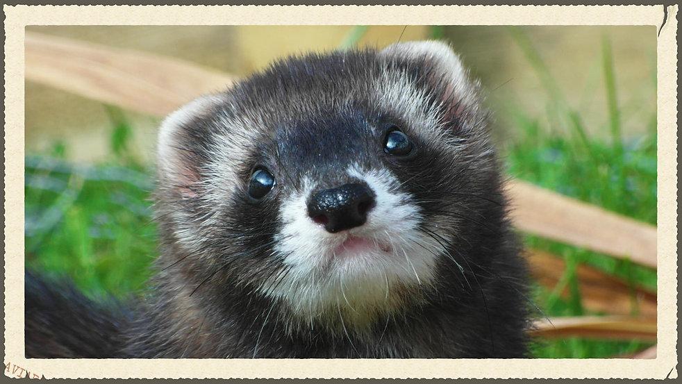 black angora ferret