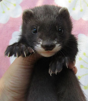 black self ferret