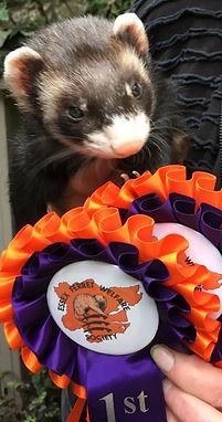 champion ferret