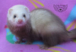 small ferret, fluffy ferret, golden ferret