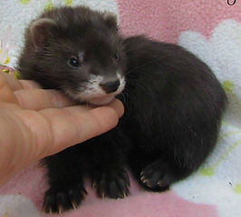 black ferret kit